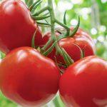 Potassium Humate-benefits-of-Tomatoes