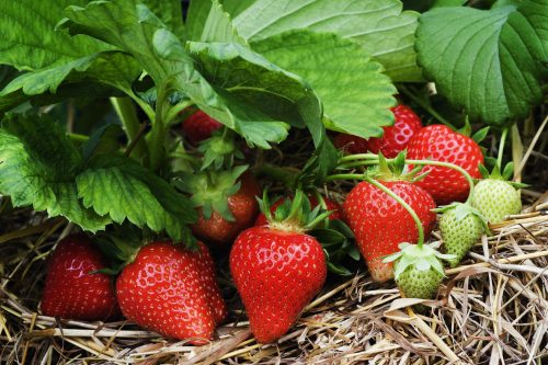 Humic acid function to strawberry